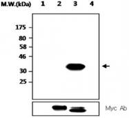 MAB2706 - PTPRT