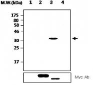 MAB2710 - PTPRN