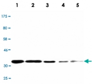 MAB2721 - Cyclin D1