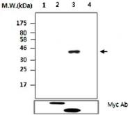 MAB2734 - PTPN14 / PEZ