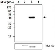MAB2739 - PTPN2 / TCPTP