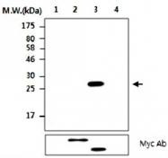 MAB2742 - CDC25A