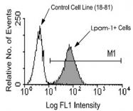 MAB3252 - Integrin beta-7