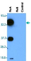 MAB3326 - Influenza A