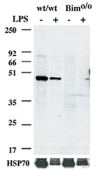 MAB3427 - Caspase-1