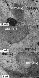 MAB3452 - GSTP1 / GST3