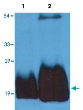 MAB3628 - CD59