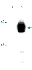 MAB3728 - RIPK3 / RIP3