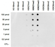 MAB4947 - Histone H3