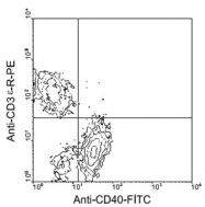 MAB5607 - CD40