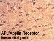 MO15011-500 - Apelin Receptor