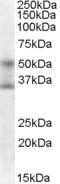 NB100-1262 - FOXA1 / TCF3A