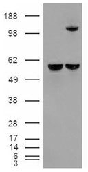 NB100-68148 - Insulin-degrading enzyme