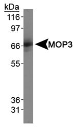 NB100-2288 - ARNTL / BMAL1