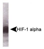 NB100-900WB - HIF1A / HIF1 alpha