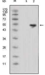 NBP1-28872 - Lipocalin-1