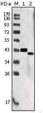 NBP1-28885 - Sortilin-related receptor (SORL1)