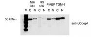 NBP1-30012 - Lysyl oxidase