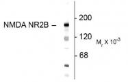 NBP1-30037 - NMDAR2B