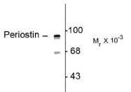 NBP1-30042 - Periostin
