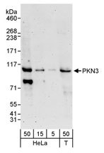 NBP1-30102 - PKN3