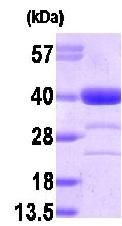 NBP1-30170 - Alcohol dehydrogenase 1A (ADH1)