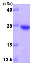 NBP1-30241 - CDO1