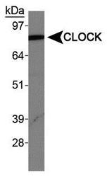 NBP1-30326 - CLOCK