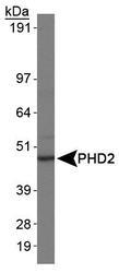 NBP1-30328 - EGLN1 / PHD2