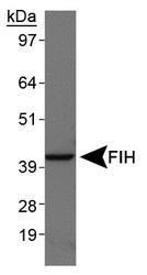 NBP1-30333 - HIF1AN / FIH1