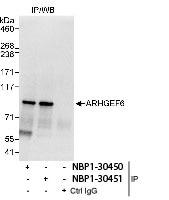 NBP1-30451 - ARHGEF6