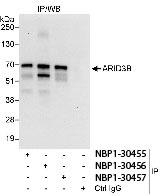 NBP1-30455 - ARID3B
