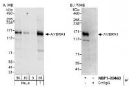 NBP1-30460 - AMBRA1
