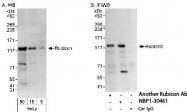 NBP1-30461 - KIAA0226