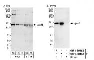 NBP1-30463 - PIK3R4