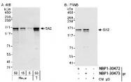 NBP1-30473 - STAG2 / Stromal antigen 2