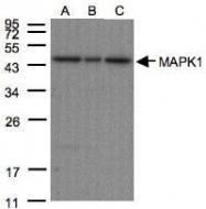 NBP1-30887 - ERK2