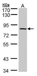 NBP1-30898 - ADAM33