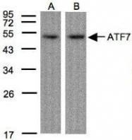 NBP1-30899 - ATF7