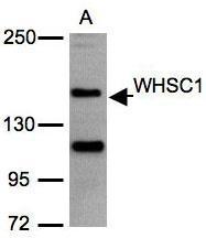 NBP1-30910 - WHSC1