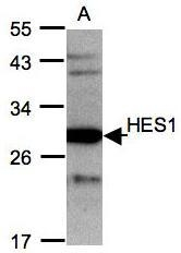 NBP1-30912 - HES1