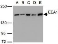 NBP1-30914 - Early endosome antigen 1