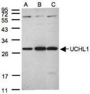 NBP1-30915 - UCHL1 / PGP9.5