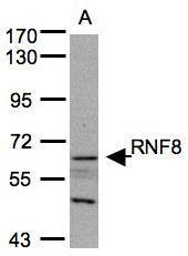 NBP1-30926 - RNF8