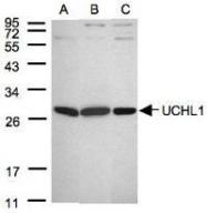 NBP1-30933 - UCHL1 / PGP9.5