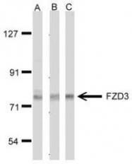 NBP1-30940 - FZD3 / Frizzled-3