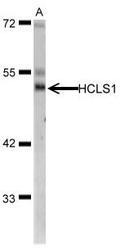 NBP1-30953 - HCLS1