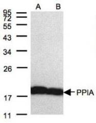 NBP1-30993 - Cyclophilin A