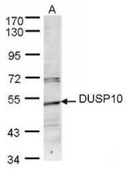 NBP1-31001 - DUSP10 / MKP5
