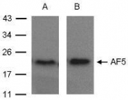 NBP1-31005 - ADP-ribosylation factor 5 (ARF5)
